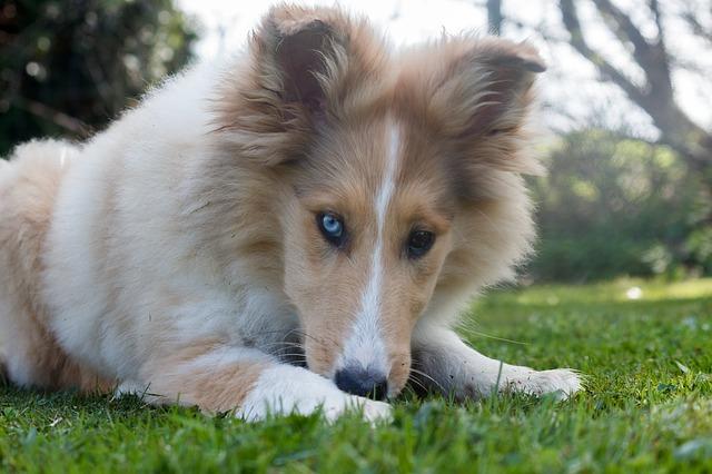 Collie Hund Suche Hundefutter