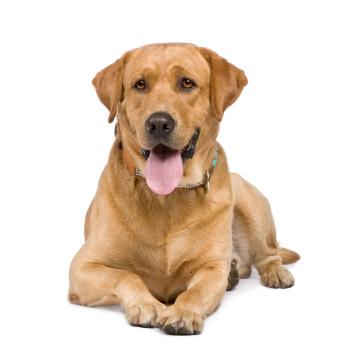 beliebteste hunderassen im berblick hundefutter gratis. Black Bedroom Furniture Sets. Home Design Ideas